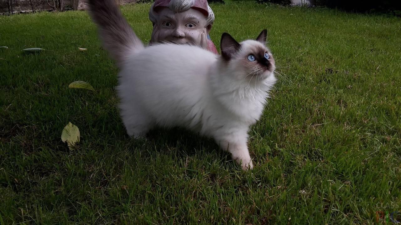 История появления и особенности характера кошек породы рэгдолл, основы ухода за ними
