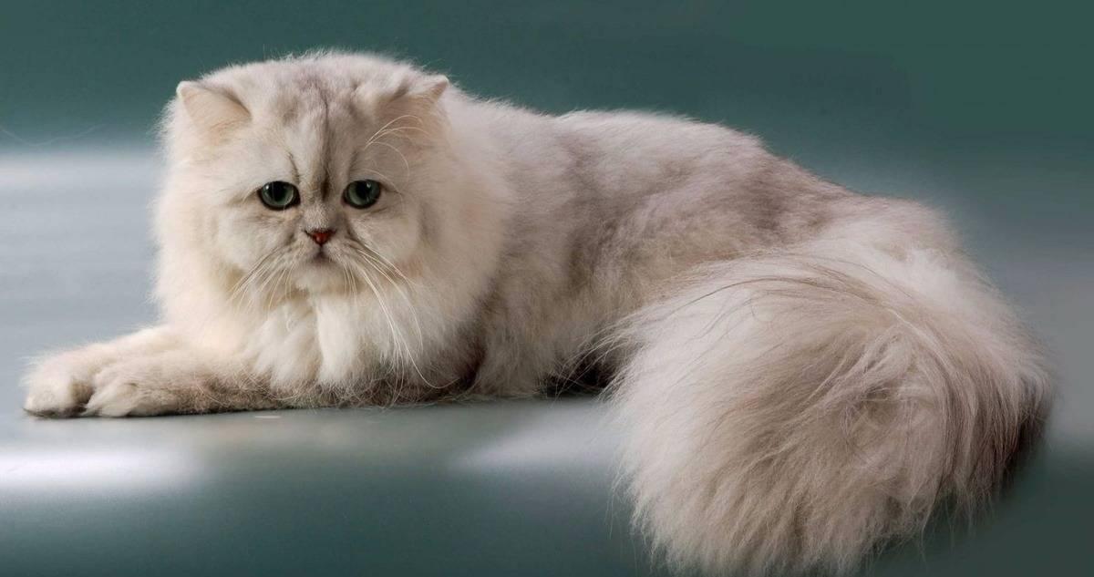 Персидская кошка: описание породы и характеристики