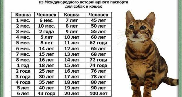 Возраст кошки по человеческим меркам - таблица, как определить возраст кошки