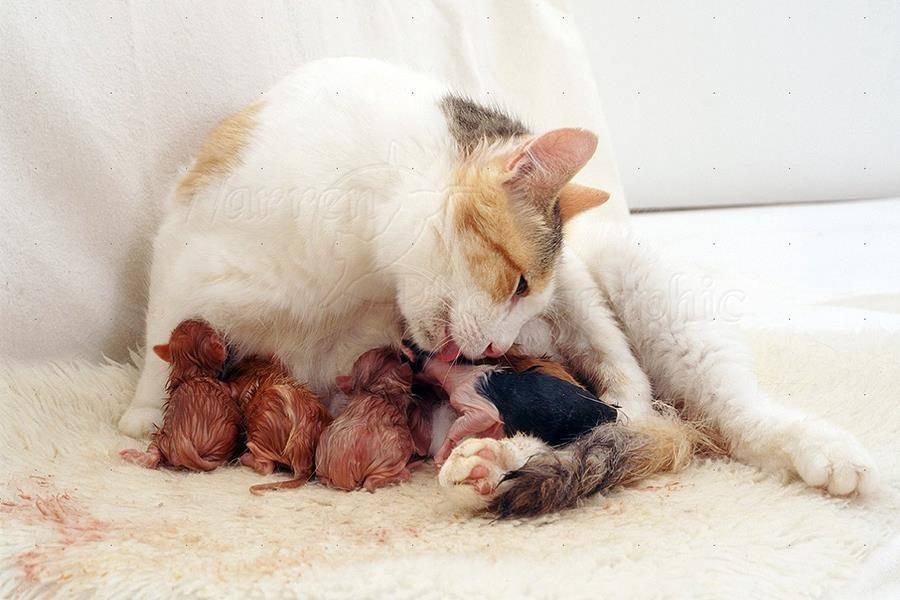 Кошка рожает: как помочь питомице, у которой начинаются роды, в домашних условиях?