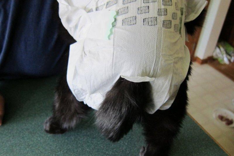 Памперсы для кошек: как выбрать, какие лучше использовать, применение