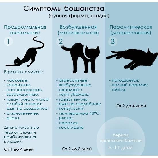 Бешенство у кошек и котов: симптомы, прививки и опасность для человека
