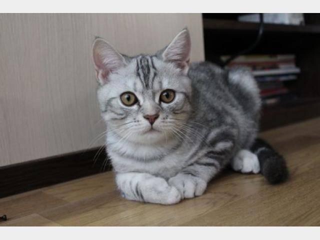 Гостья с шотландских холмов — прямоухая кошка скоттиш-страйт