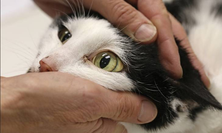 Гемобартонеллез кошек: симптомы, причины, лечение