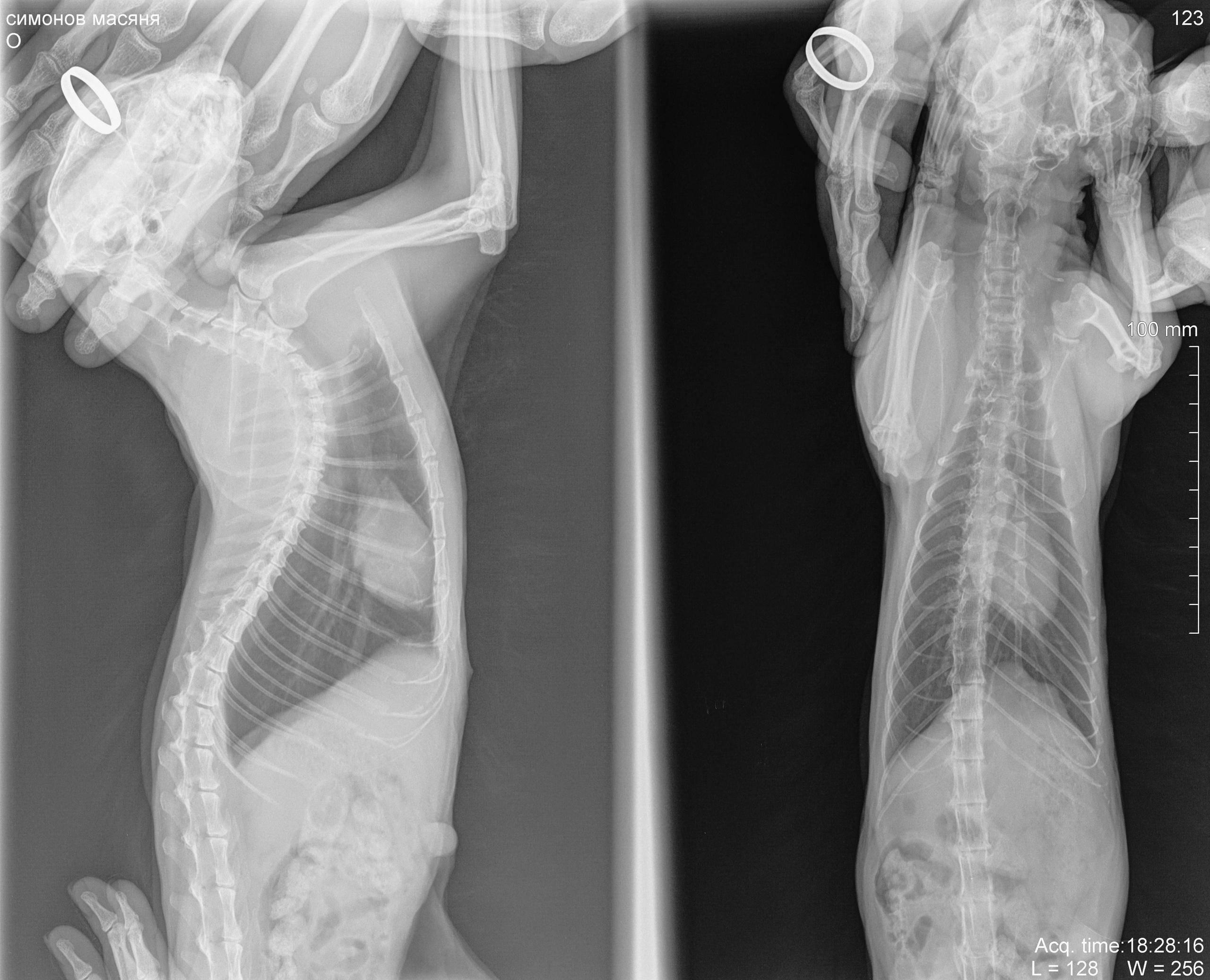 Метастазы в лёгких у кошки: симптомы, лечение