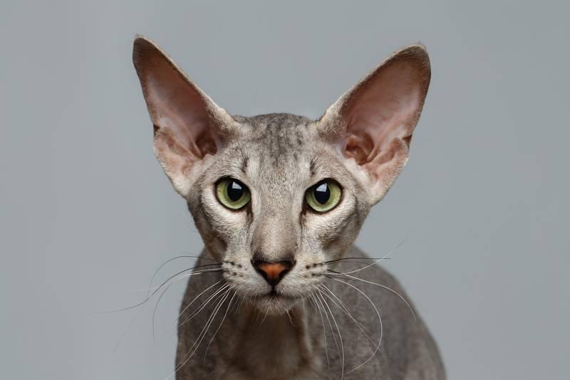 Внешний вид и фото котов ориенталов, содержание и уход