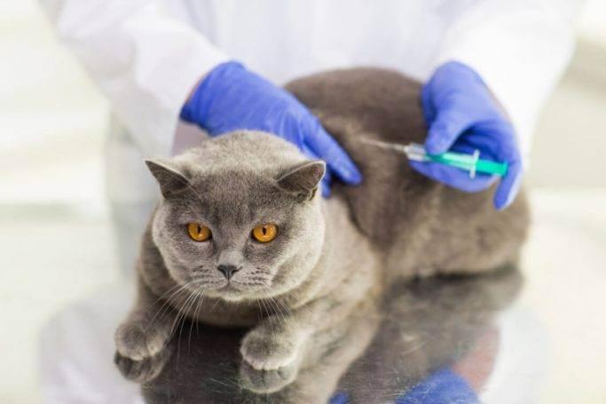 На страже кошачьего здоровья — схема вакцинации домашних любимцев