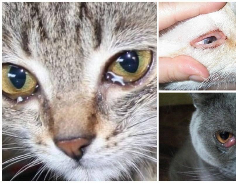 Почему у котенка гноятся глаза: причины, что делать и как лечить