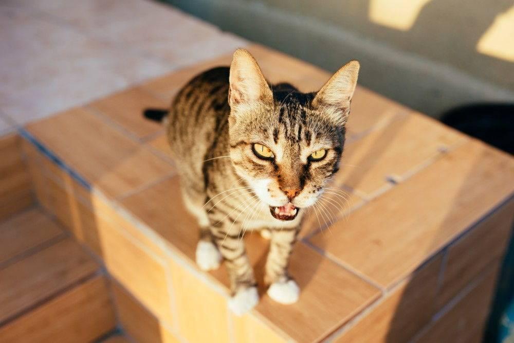 Зачем кошка высовывает кончик языка?