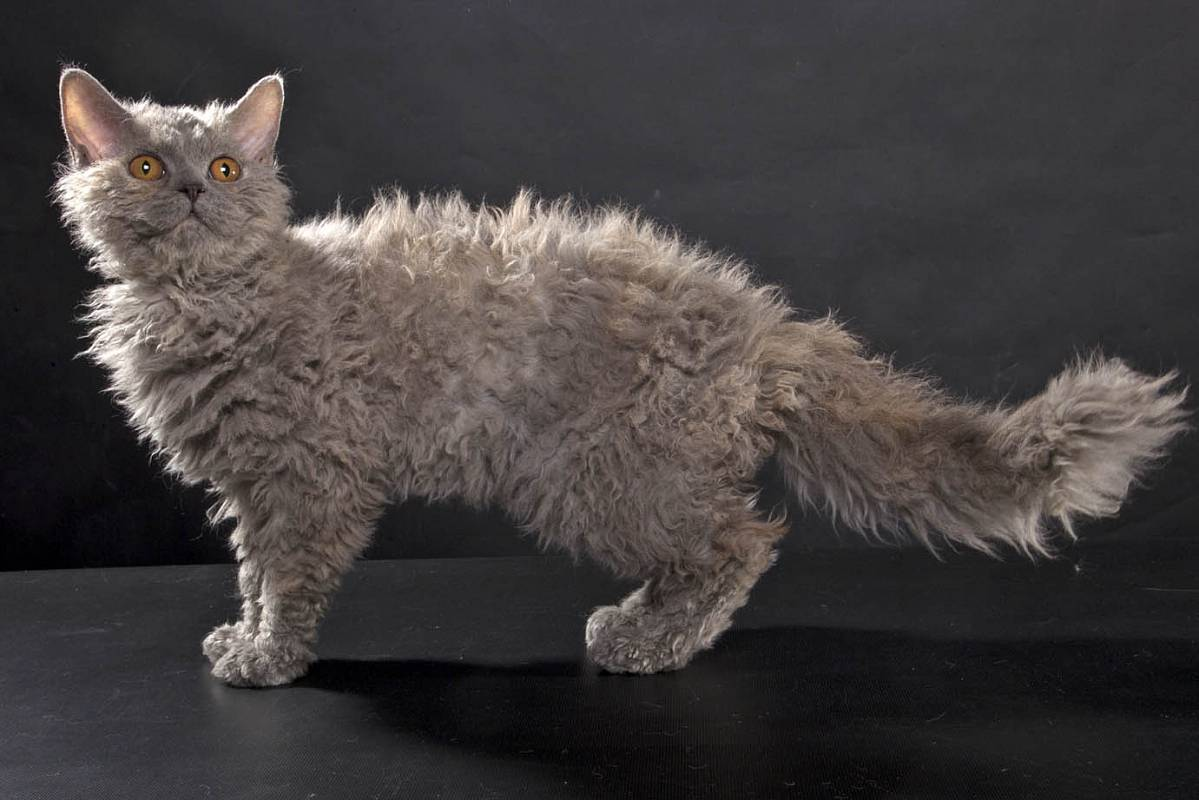 Селкирк рекс: описание породы, уход и содержание, фото, разведение котов, выбор котенка, отзывы владельцев