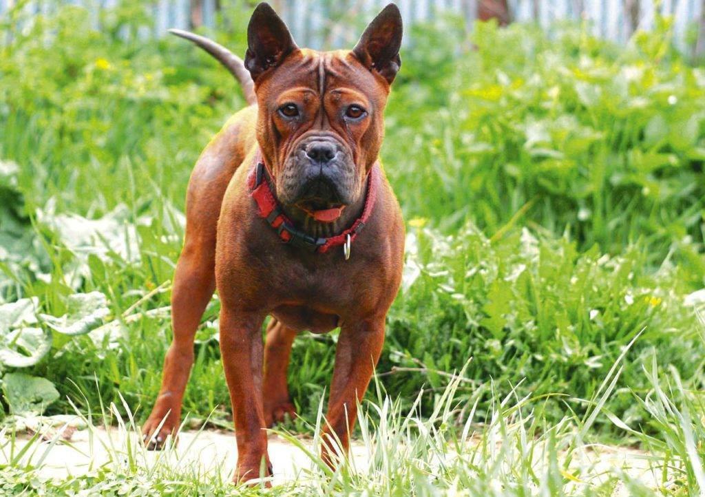 Чунцин (собака) – фото, описание породы, цена щенков