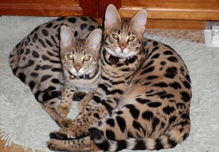 Саванна: кот из рода диких сервалов – общительная и дружелюбная порода