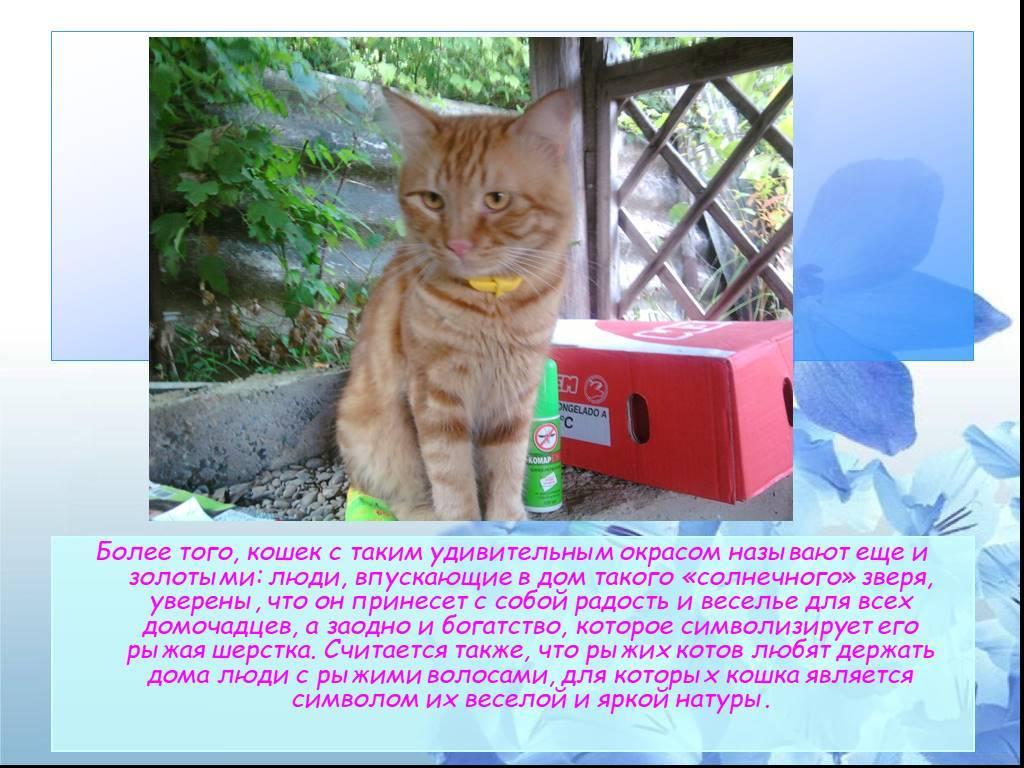 Рыжий кот в доме: приметы