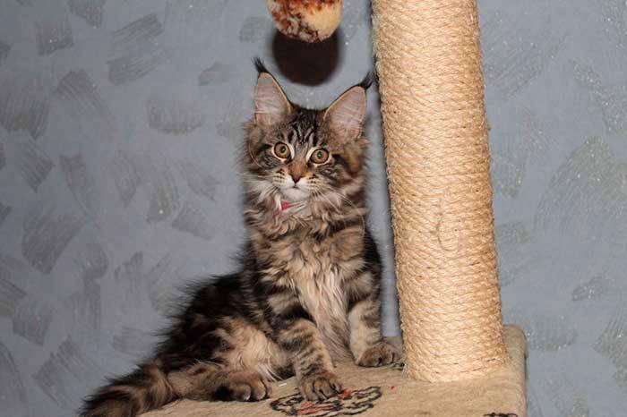 Как приучить котенка к когтеточке: с помощью игр, теринировок, кошачье мяты или валерьянки