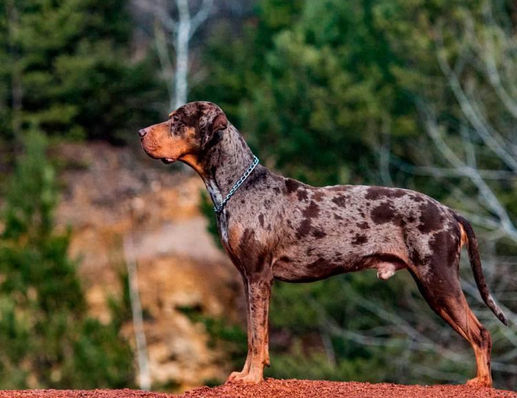 Леопардовая собака катахулы. описание, особенности, характер, история и цена породы   животный мир