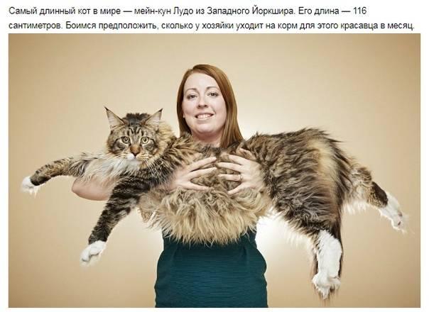 Самые толстые кошки и коты в мире: нормальные показатели веса, рейтинг рекордсменов, причины ожирения