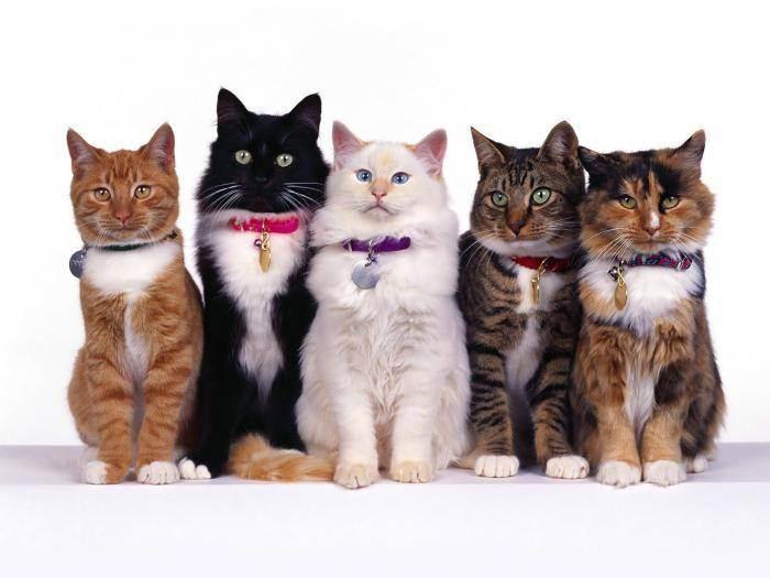 Гипоаллергенные кошки – миф или реальность?