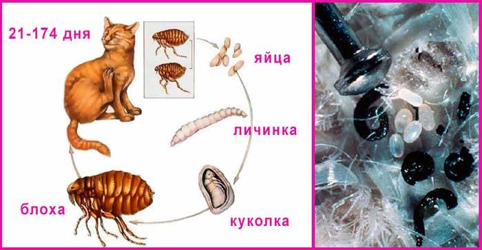 Блохи у кошки: признаки и как бороться с насекомыми