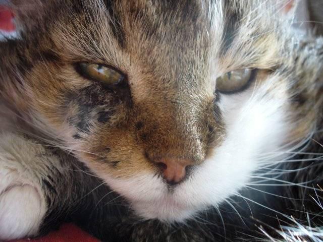 Выделения из глаз у кошек коричневого цвета: причины и лечение