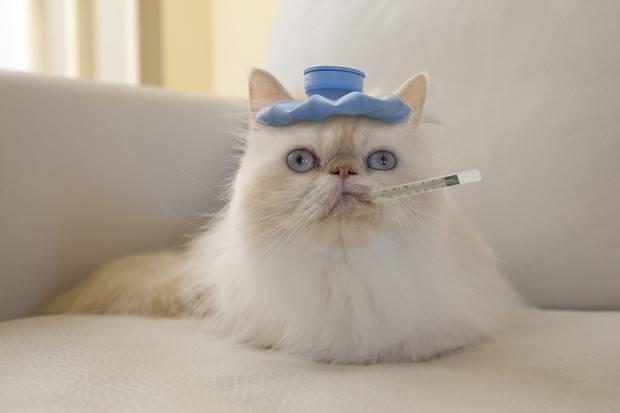 Запор у кошек и котов что делать