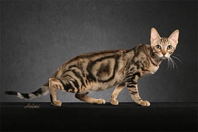 Сококе: фото, цена котенка, описание породы и характера, уход