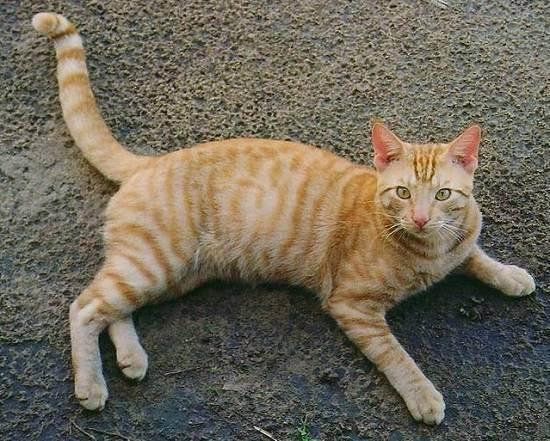 Варианты окрасов табби у британских короткошерстных кошек