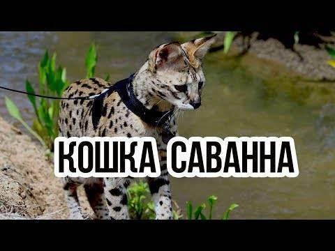 Кошки породы саванна: грациозный домашний хищник