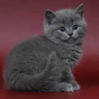 Чем кормить британских котят? чем нельзя кормить британских котят?
