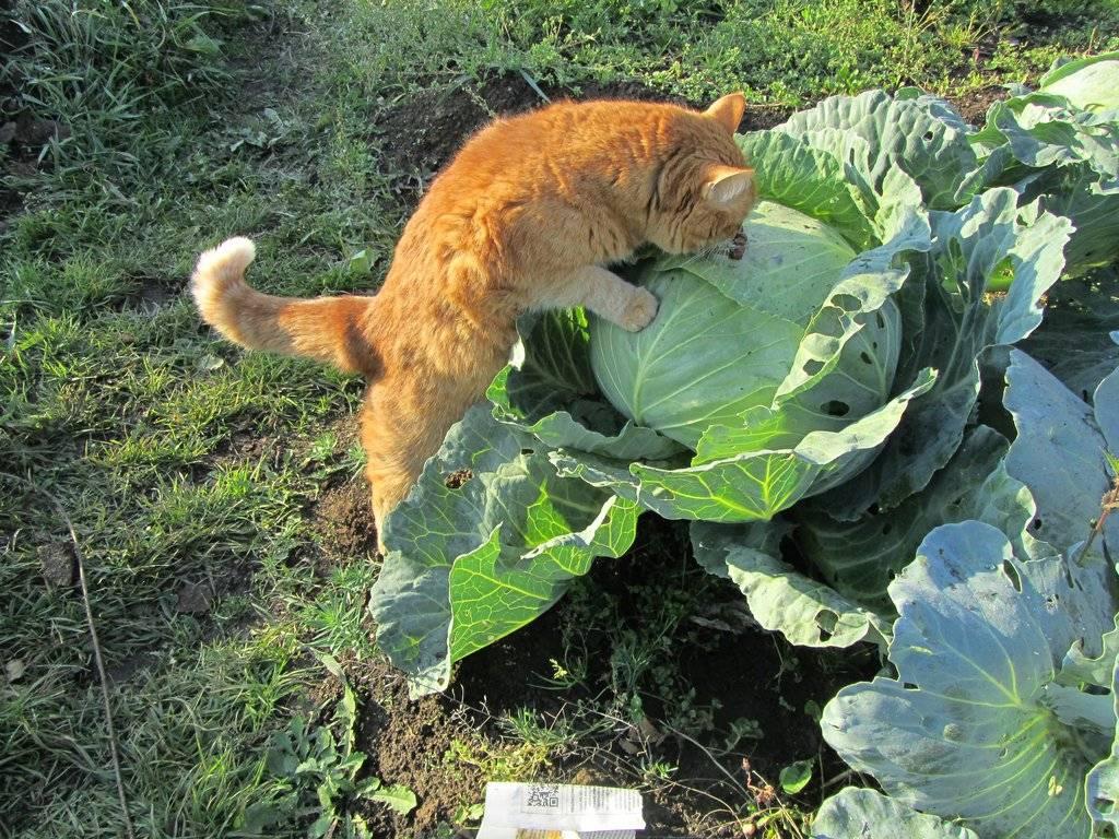 Какие овощи можно давать кошке?
