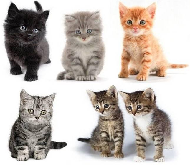 Как определить породу кошки, кота или котенка по фото и отличить породистое животное от обычного?