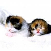 Осложнения при родах у кошек