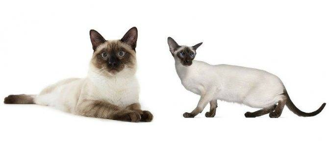 Как выбрать котенка сиамской кошки – советы и рекомендации