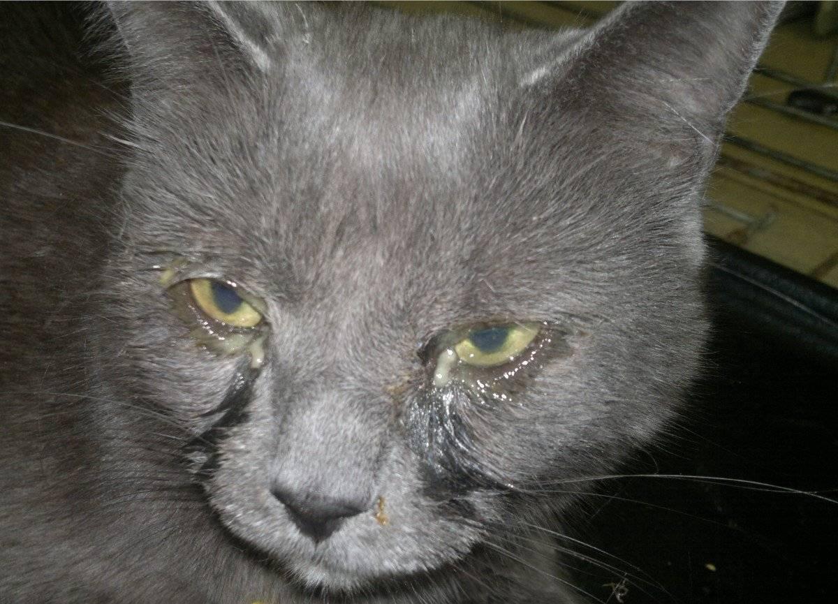 Что делать, если кот чихает и у него сопли