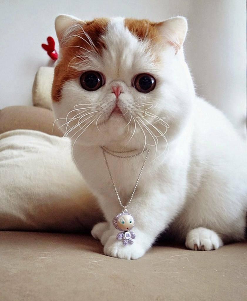 Кошки и коты с разными глазами: породы | белая, фото