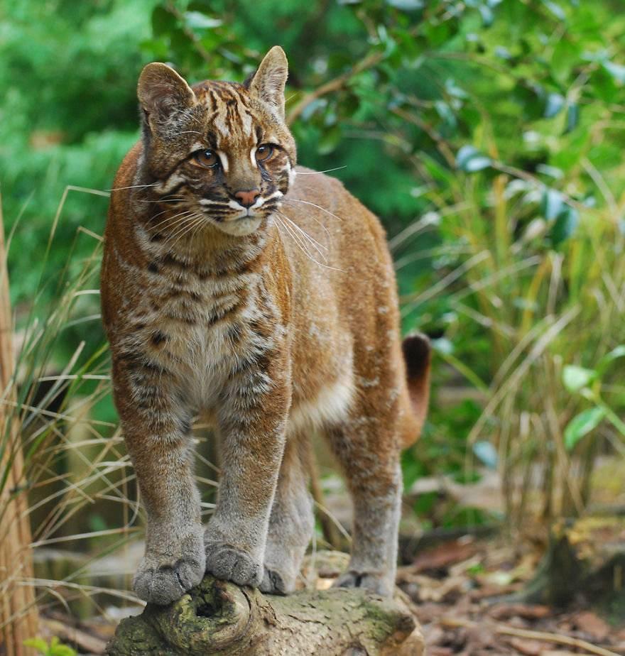 10 самых больших в мире диких и домашних кошек с фотографиями и названиями