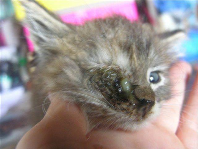 Почему у котенка не открывается один глаз: причины, возможные осложнения и лечение