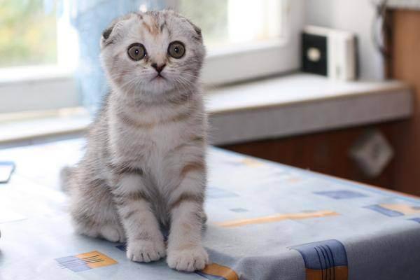 Шотландская вислоухая кошка: особенности породы и цена