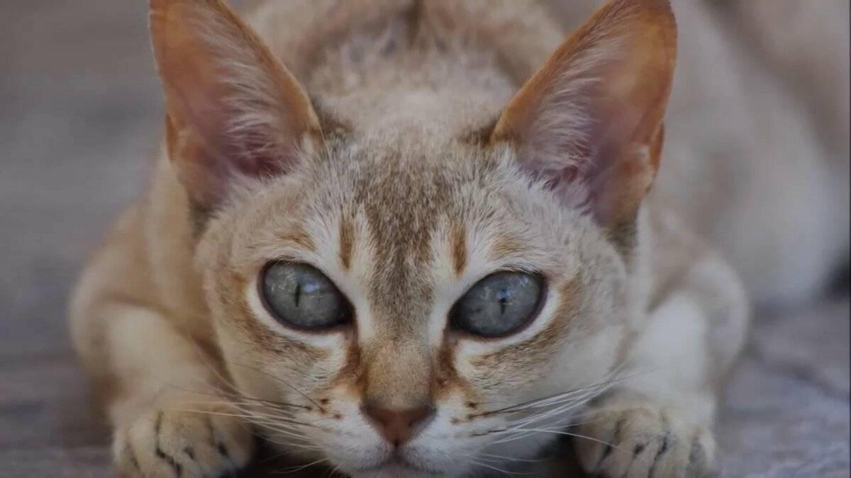 Самая маленькая кошка — сингапурская