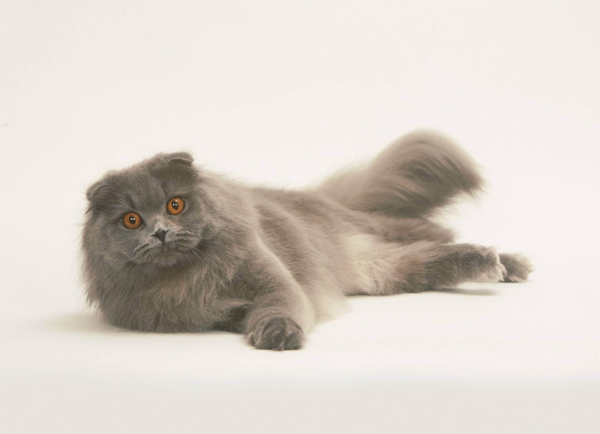 Описание и особенности шотландских вислоухих кошек. о шотландской вислоухой кошке
