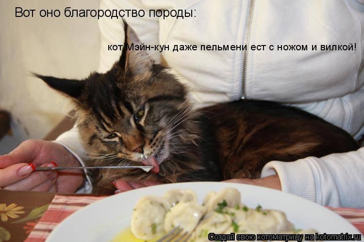 Кошка долго не ест. шотландская кошка плохо ест — в чем проблема