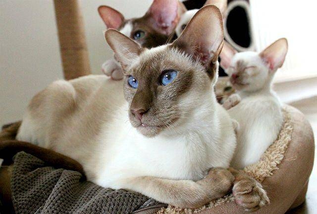 Сколько лет живут сиамские коты - кошки и собаки