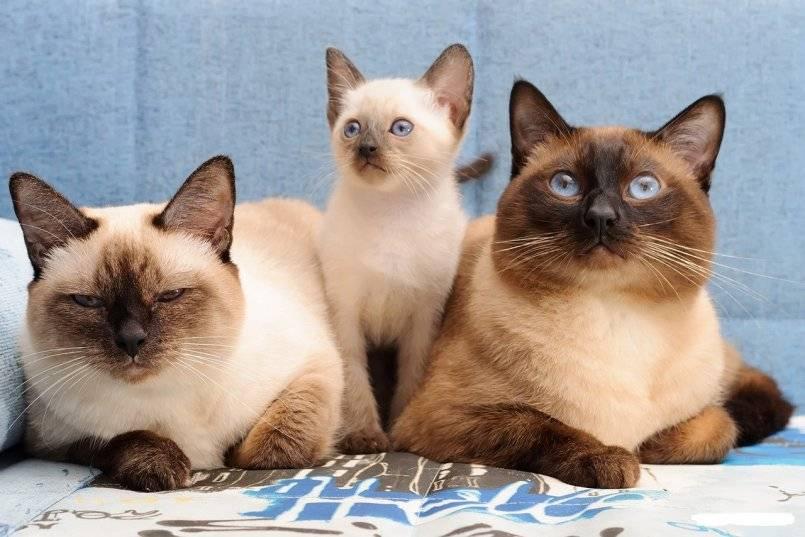 Тайская кошка: описание породы и характера, уход и содержание