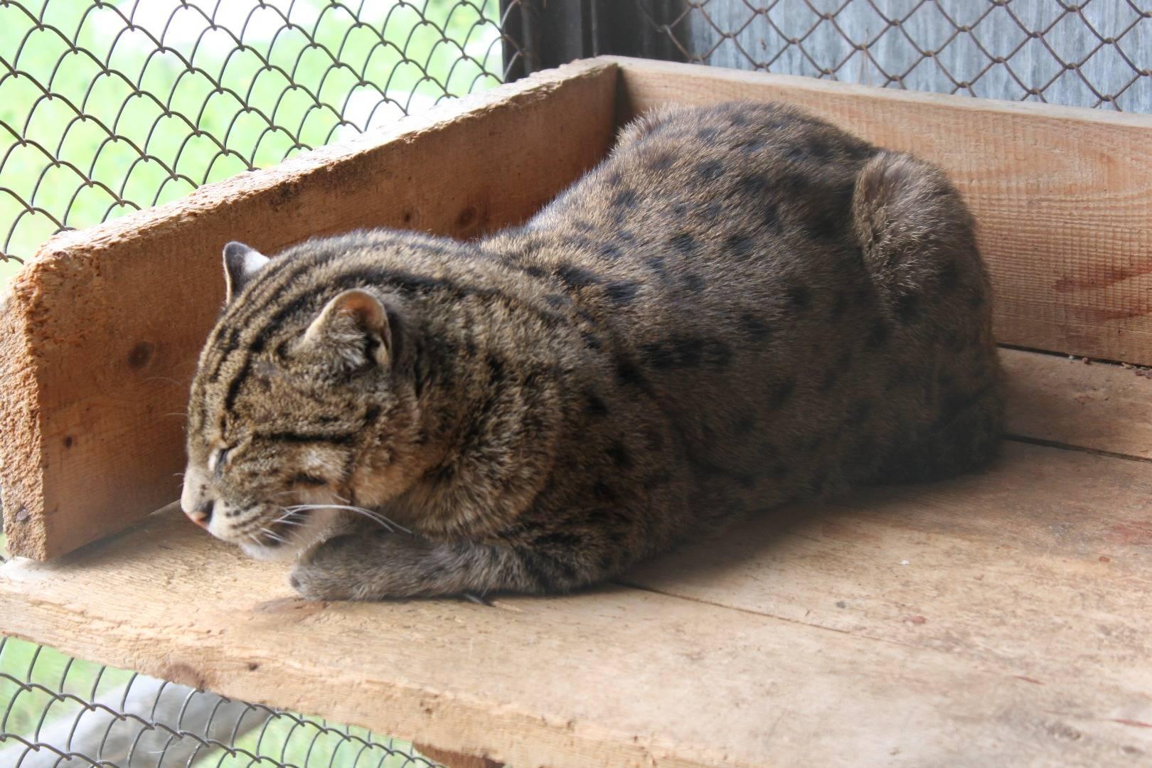 Котенок-рыболов в домашних условиях: можно ли содержать виверрового кота в квартире?