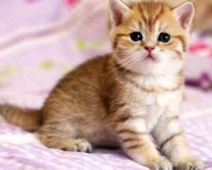 Почему нельзя брать котят раньше 3х месяцев. - питомник британских кошек arletta british