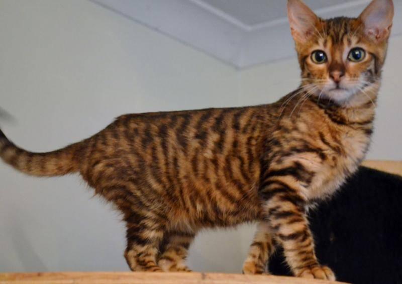 Породы кошек тигрового и леопардового окраса | сайт «мурло»