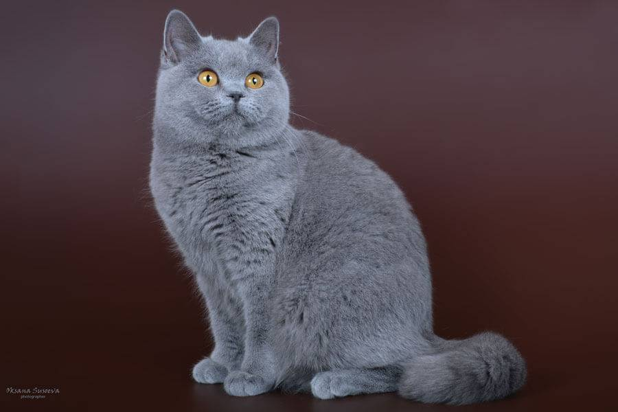 Окрасы британских котят: черные, белые, голубые, рыжие, мраморные, шоколадные
