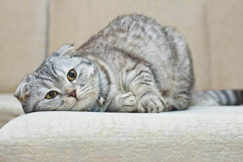 Почему шотландские коты сидят на попе: освещаем подробно