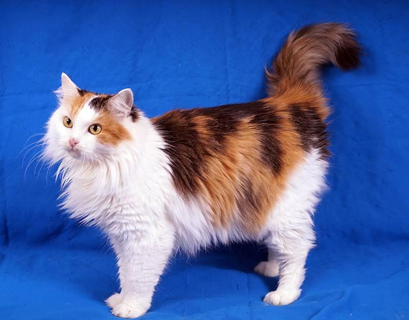 Пушистые кошки: названия пород, их описание и фото