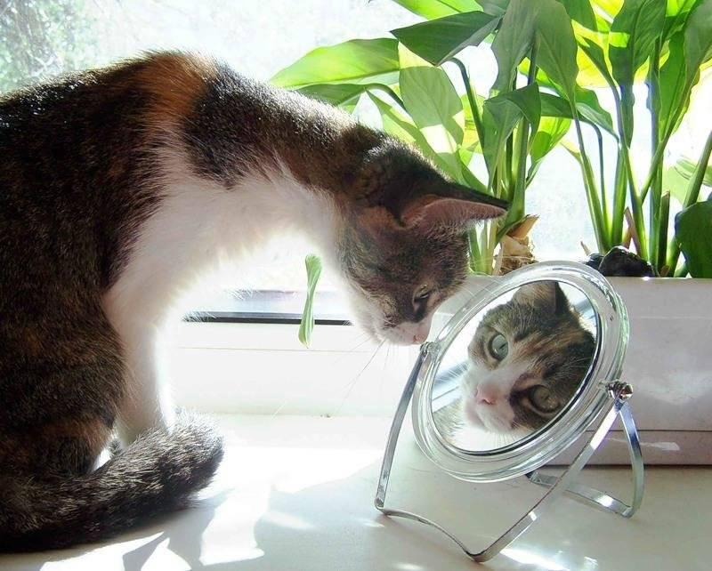 Способна ли кошка узнать себя в зеркале? — 4 лапки
