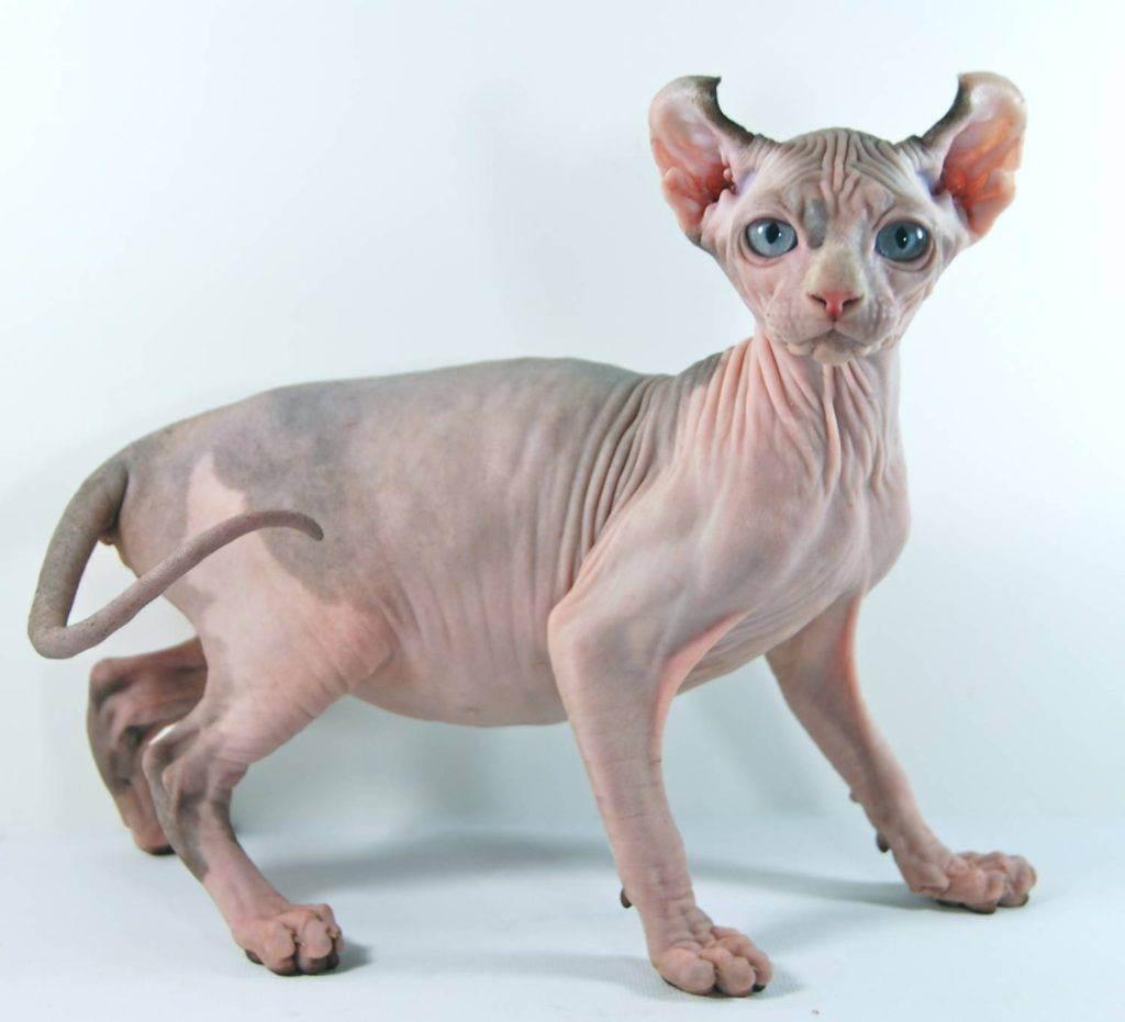 Эльф (порода кошек) — википедия. что такое эльф (порода кошек)